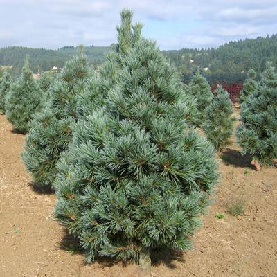 Pine/ Vanderwolf