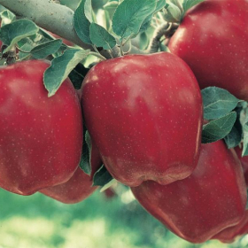 Apple/ Red Delicious