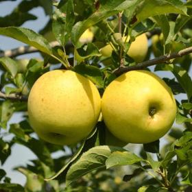 Apple/ Yellow Delicious