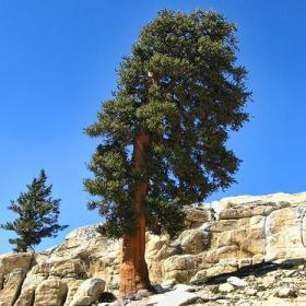 Pine/ Bristlecone