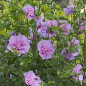 Althea/ Lavender Chiffon