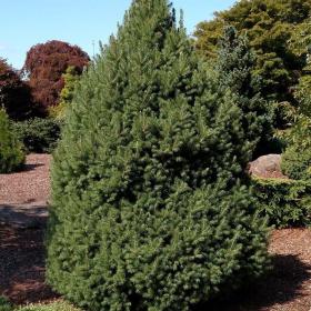 Spruce/ Big Berta