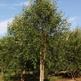 Birch/ Dura Heat