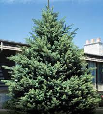 Spruce/ Black Hills