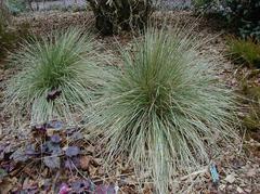 Blue Oat Grass/ Avena