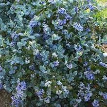 Blueberry/ Brazelberries