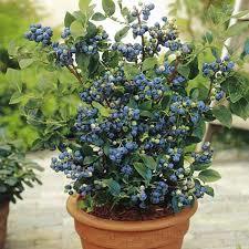 Blueberry/ Northland