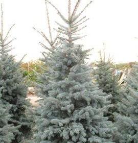 Spruce/ Bonny Blue