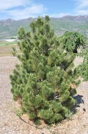 Pine/ Bosnian