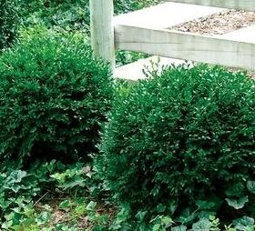 Boxwood/ Chicagoland Green