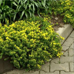 Broom/ Yellow