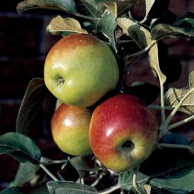 Apple/ Colonnade Polka