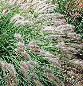 Fountain Grass/ Hameln