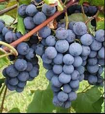 Grape/ Concord