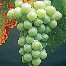 Grape/ Himrod