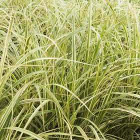 Maiden Grass/ Variegated