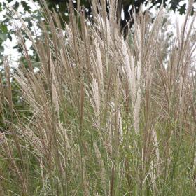 Maiden Grass/ Yaku Jima