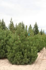 Pine/ Rostrata