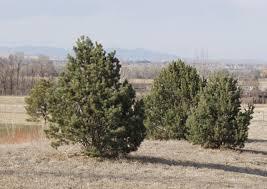 Pine/ Pinyon