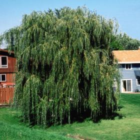 Willow/ Prairie Cascade
