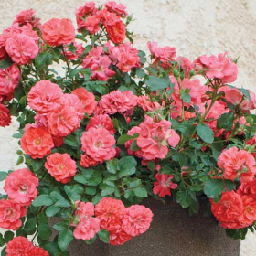 Groundcover Rose/ Coral Drift