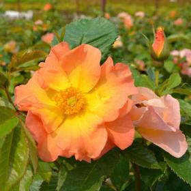 Shrub Rose/ Morden Sunrise