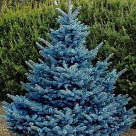 Spruce/ Blue Diamond