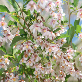 Snowbell/ Pink Chimes
