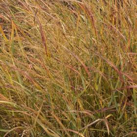Switch Grass/ Shenandoah