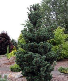 Pine/ Tannenbaum