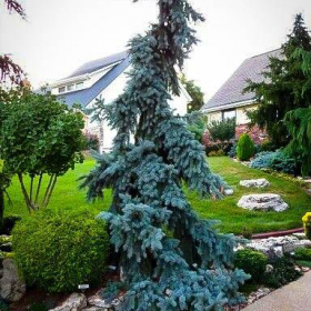 Spruce/ Blue Weeping
