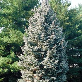 Spruce/ White