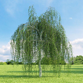 Birch/ Young's Weeping