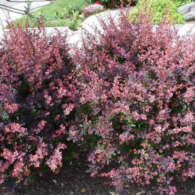 Barberry/ Rosy Glow