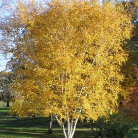 Birch/ Whitespire