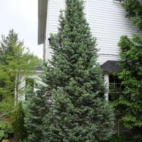 Spruce/ Blue Totem