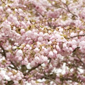 Cherry / Akebono Flowering