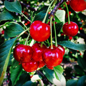 Cherry/ Montmorency