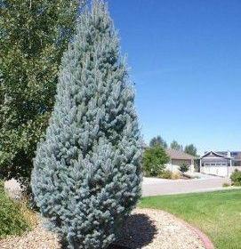 Spruce/ Columnar Blue