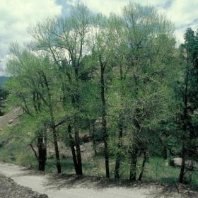 Cottonwood/ Narrowleaf