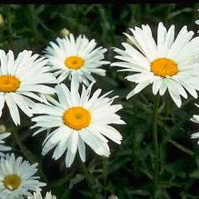 Daisy, Shasta