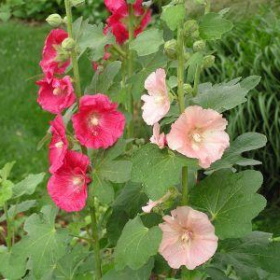 Hollyhock,Old Fashioned