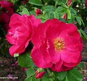 Climbing Rose/ John Cabot