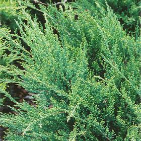 Juniper/ Sea Green