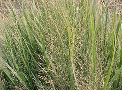 Switch Grass/ Northwind