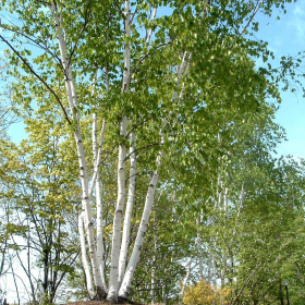 Birch/ Paper