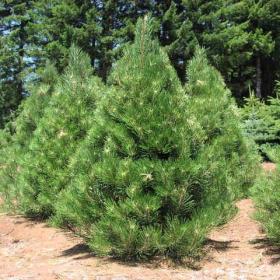 Pine/ Austrian