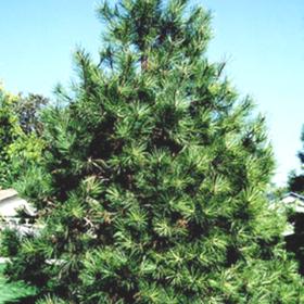 Pine/ Ponderosa
