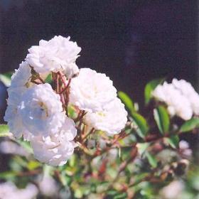 Rose/ Meidiland