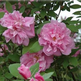 Rugosa Rose/ Theresa Bugnet